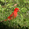 A summer tanager at Mounds Park with a nut.<br /> <br /> Photographer's Name: Jerry Byard<br /> Photographer's City and State: Anderson, Ind.