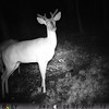 Picture taken in my backyard of a raccoon watching a buck start the growth on his antlers. Taken last evening by my backyard camera.<br /> <br /> Photographer's Name: Charles Shumate<br /> Photographer's City and State: Anderson, Ind.