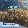 Bee swarm at Hoosier Park Racing & Casino. Drew quite a crowd!<br /> <br /> Photographer's Name: John Suko<br /> Photographer's City and State: Anderson, IN