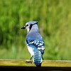 Mr. Blue Jay...my farm in Richland Township.<br /> <br /> Photographer's Name: J.R. Rosencrans<br /> Photographer's City and State: Alexandria, Ind.