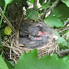 Three baby finches, taking a nap.<br /> <br /> Photographer's Name: Harry Van Noy<br /> Photographer's City and State: Lafayette Township, Ind.