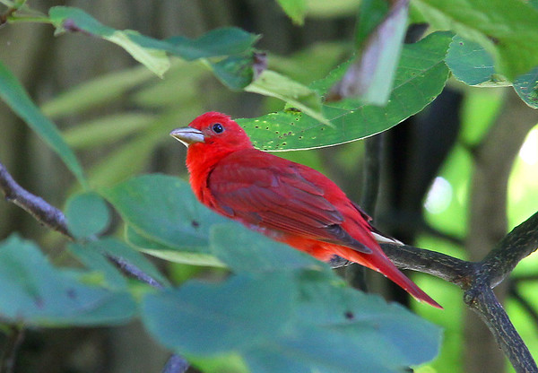 A beautiful summer tanager just outside the Nature Center at Mounds Park.<br /> <br /> Photographer's Name: Jerry Byard<br /> Photographer's City and State: Anderson, Ind.