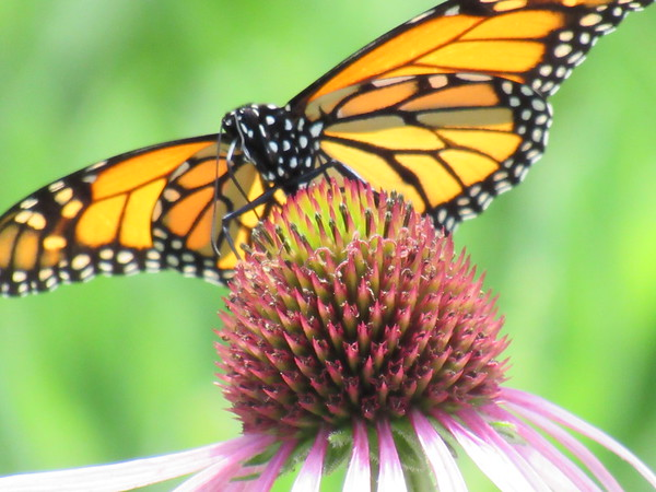 A butterfly, resting on a flower.<br /> <br /> Photographer's Name: Harry Van Noy<br /> Photographer's City and State: Lafayette Township, Ind.