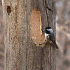 This chickadee is working on a tree at Mounds Park.<br /> <br /> Photographer's Name: Jerry Byard<br /> Photographer's City and State: Anderson, Ind.
