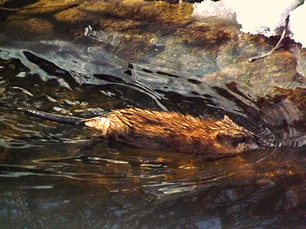 He's eating healthy...a muskrat in Killbuck Creek.<br /> <br /> Photographer's Name: J.R. Rosencrans<br /> Photographer's City and State: Alexandria, Ind.