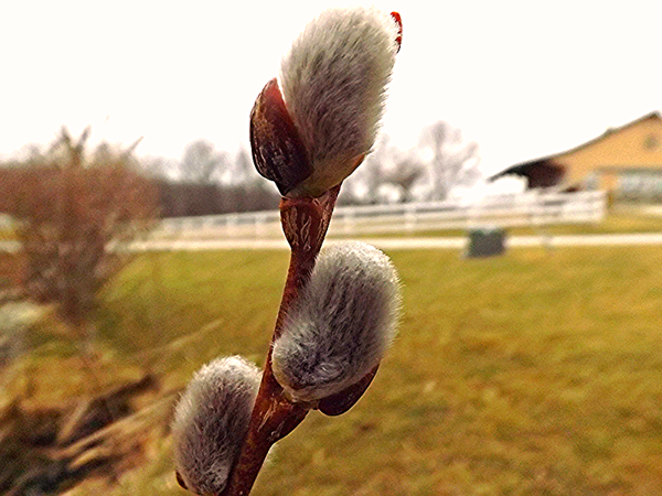 Pussy willows for Mom, taken at my farm in Richland Township.<br /> <br /> Photographer's Name: J.R. Rosencrans<br /> Photographer's City and State: Alexandria, Ind.
