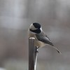 Well hello: Right outside my kitchen window.<br /> <br /> Photographer's Name: Brenda Holland<br /> Photographer's City and State: Anderson, Ind.