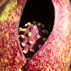 A macro look into the skunk cabbage at Mounds Park shows the spadix  which is a rounded bulb on a stalk.<br /> <br /> Photographer's Name: Jerry Byard<br /> Photographer's City and State: Anderson, Ind.