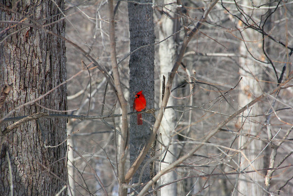 A spot of cardinal red in a gray woods is pictured at Mounds Park.<br /> <br /> Photographer's Name: Jerry Byard<br /> Photographer's City and State: Anderson, Ind.