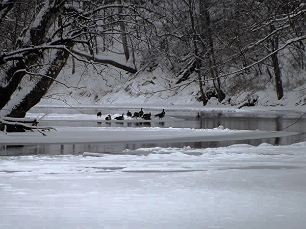White River geese waiting  for spring.<br /> <br /> Photographer's Name: J.R. Rosencrans<br /> Photographer's City and State: Alexandria, Ind.