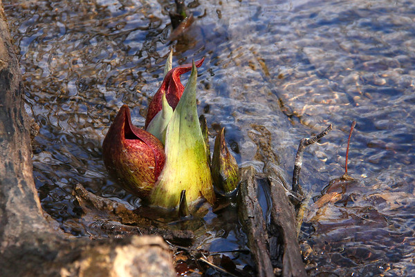 The skunk cabbage at Mounds Park is appearing as Spring approaches.<br /> <br /> Photographer's Name: Jerry Byard<br /> Photographer's City and State: Anderson, Ind.