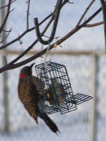 Flicker visited my feeder this morning.<br /> <br /> Photographer's Name: Brenda Holland<br /> Photographer's City and State: Anderson, Ind.