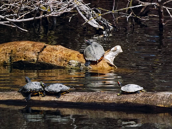 When turtles are out, bass are about. Taken at Shadyside Lake.<br /> <br /> Photographer's Name: J.R. Rosencrans<br /> Photographer's City and State: Alexandria, Ind.