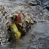 Early arriving skunk cabbage at Mounds Park is breaking free from the icy stream.<br /> <br /> Photographer's Name: Jerry Byard<br /> Photographer's City and State: Anderson, Ind.