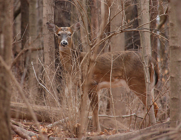 A deer in the brush at Mounds Park was checking me out as I hiked past.<br /> <br /> Photographer's Name: Jerry Byard<br /> Photographer's City and State: Anderson, Ind.