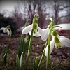 Snow drops blooming.<br /> <br /> Photographer's Name: Debra Howell<br /> Photographer's City and State: Pendleton, Ind.