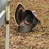 This is one of 10 turkeys that passed through our yard recently.<br /> <br /> Photographer's Name: Larry Tegge<br /> Photographer's City and State: Middletown, Ind.