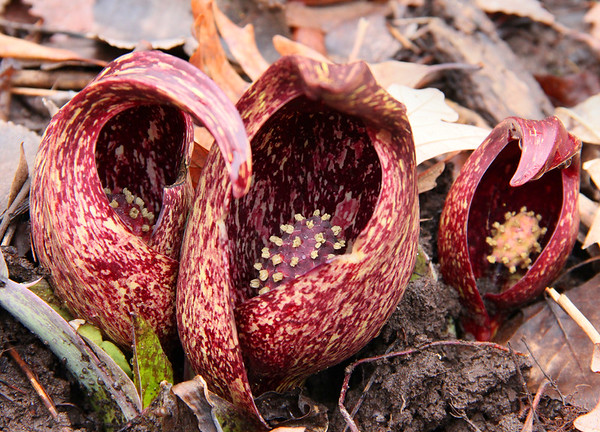 At Mounds Park the Skunk Cabbage is quickly growing larger. Here is a look at a triplet.<br /> <br /> Photographer's Name: Jerry Byard<br /> Photographer's City and State: Anderson, Ind.