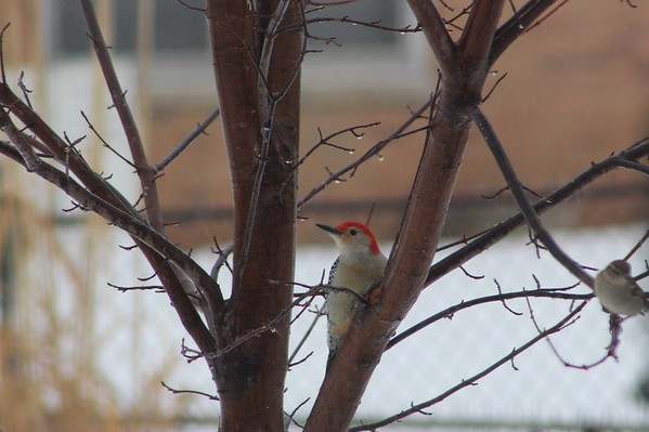 A red-bellied woodpecker getting some food while we had our ice storm on March 3, 2015.<br /> <br /> Photographer's Name: Brend Holland<br /> Photographer's City and State: Anderson, Ind.