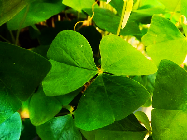 A bit of Irish color at my farm in Richland Township.<br /> <br /> Photographer's Name: J.R. Rosencrans<br /> Photographer's City and State: Alexandria, Ind.