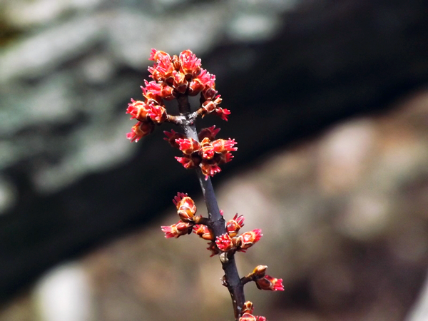 Maple buds say it all. Taken at Shadyside Lake.<br /> <br /> Photographer's Name: J.R. Rosencrans<br /> Photographer's City and State: Alexandria, Ind.