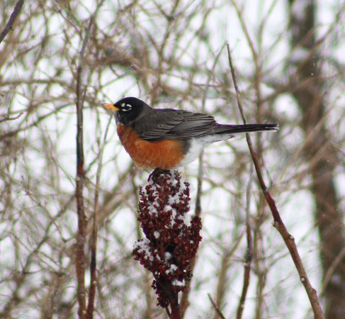 A robin perches on top of a frozen autumn flower.<br /> <br /> Photographer's Name: Brian Fox<br /> Photographer's City and State: Anderson, Ind.