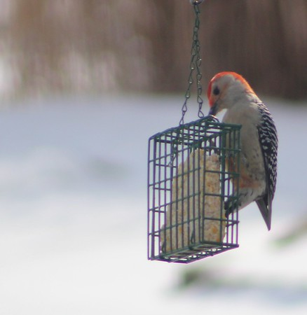 A red-bellied woodpecker feeding.<br /> <br /> Photographer's Name: Brend Holland<br /> Photographer's City and State: Anderson, Ind.