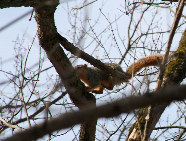 This is not a flying squirrel but a jumping squirrel at Mounds Parks heading to another tree.<br /> <br /> Photographer's Name: Jerry Byard<br /> Photographer's City and State: Anderson, Ind.