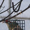Bird watching out my kitchen window: Hurry up Spring!<br /> <br /> Photographer's Name: Brenda Holland<br /> Photographer's City and State: Anderson, Ind.