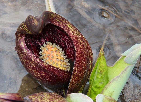 Down inside the skunk cabbage at Mounds Park is an interesting and colorful formation called a Spadix.<br /> <br /> Photographer's Name: Jerry Byard<br /> Photographer's City and State: Anderson, Ind.