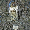A red-tailed hawk.<br /> <br /> Photographer's Name: Pete Domery<br /> Photographer's City and State: Markleville, Ind.