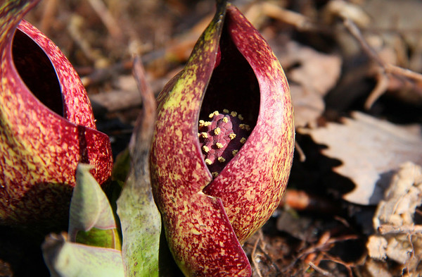 The skunk cabbage at Mounds Park is colorful and aromatic as the name denotes.<br /> <br /> Photographer's Name: Jerry Byard<br /> Photographer's City and State: Anderson, Ind.