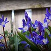 Lovely chionodoxa, known as glory-of-the-snow, blooming.<br /> <br /> Photographer's Name: Debra Howell<br /> Photographer's City and State: Pendleton, Ind.