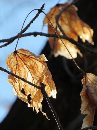 Leaves absorbing sunlight.<br /> <br /> Photographer's Name: Harry Van Noy<br /> Photographer's City and State: Lafayette Township, Ind.