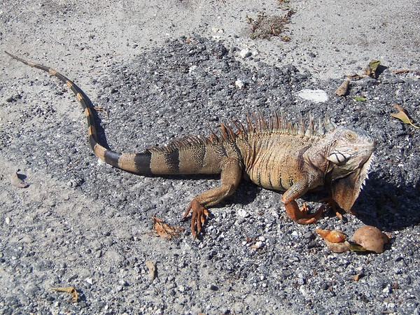 An iguana at Islamorada, Florida recently.<br /> <br /> Photographer's Name: Susan Pease<br /> Photographer's City and State: Anderson, Ind.