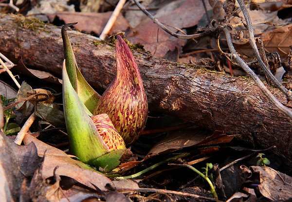 Early growing skunk cabbage at Mounds Park.<br /> <br /> Photographer's Name: Jerry Byard<br /> Photographer's City and State: Anderson, Ind.