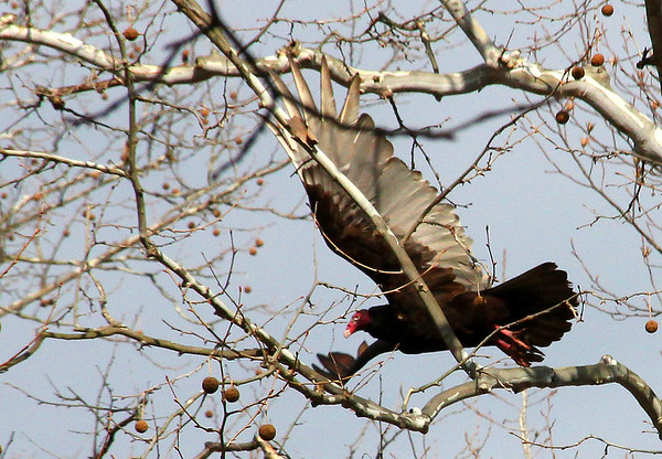 A turkey vulture at Mounds Park takes flight.<br /> <br /> Photographer's Name: Jerry Byard<br /> Photographer's City and State: Anderson, Ind.