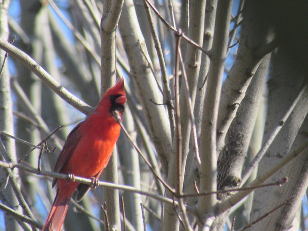A beautiful cardinal enjoying the sunshine,<br /> <br /> Photographer's Name: Maxine Pollard<br /> Photographer's City and State: Anderson, Ind.