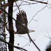 An eagle was flying along the White River at Mounds Park.<br /> <br /> Photographer's Name: Jerry Byard<br /> Photographer's City and State: Anderson, Ind.