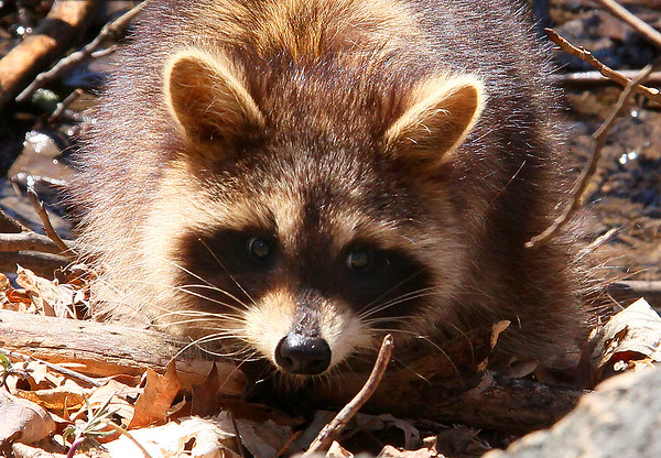 A close-up view of a raccoon at Mounds Park.<br /> <br /> Photographer's Name: Jerry Byard<br /> Photographer's City and State: Anderson, Ind.