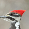 Close up of a female pileated woodpecker at Mounds Park on March 15.<br /> <br /> Photographer's Name: Pete Domery<br /> Photographer's City and State: Markleville, Ind.