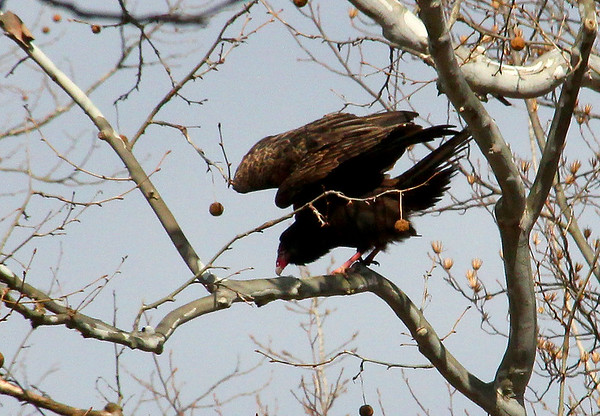 A turkey vulture at Mounds Park ready for takeoff.<br /> <br /> Photographer's Name: Jerry Byard<br /> Photographer's City and State: Anderson, Ind.