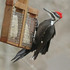 A pileated woodpecker at Mounds Park Nature Center on March 15.<br /> <br /> Photographer's Name: Pete Domery<br /> Photographer's City and State: Markleville, Ind.