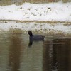 A old coot swimming.<br /> <br /> Photographer's Name: J.R. Rosencrans<br /> Photographer's City and State: Alexandria, Ind.