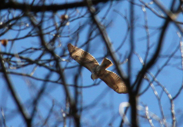 A backlit view of a red-tailed hawk above the woods at Mounds Park.<br /> <br /> Photographer's Name: Jerry Byard<br /> Photographer's City and State: Anderson, Ind.