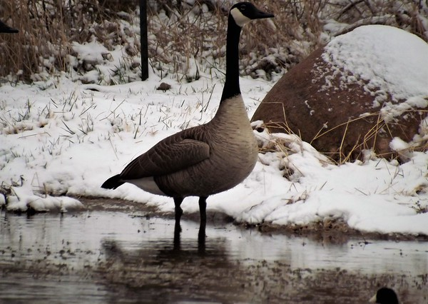 Cold goose in Richland Township.<br /> <br /> Photographer's Name: J.R. Rosencrans<br /> Photographer's City and State: Alexandria, Ind.