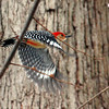 A red-bellied woodpecker was feeding at Mounds Park.<br /> <br /> Photographer's Name: Jerry Byard<br /> Photographer's City and State: Anderson, Ind.