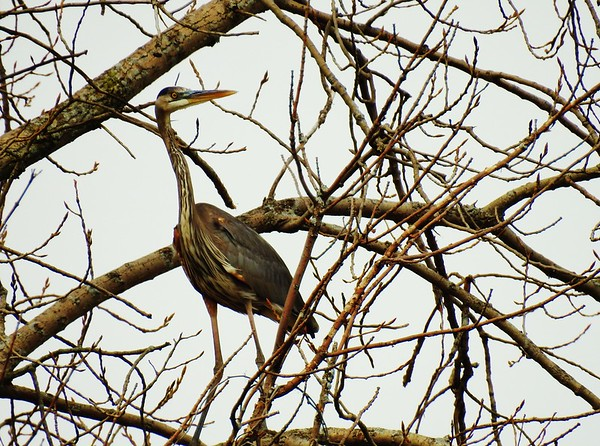A blue heron looking camouflaged in the branches of a tall tree.<br /> <br /> Photographer's Name: Sharon Markle<br /> Photographer's City and State: Markleville, Ind.