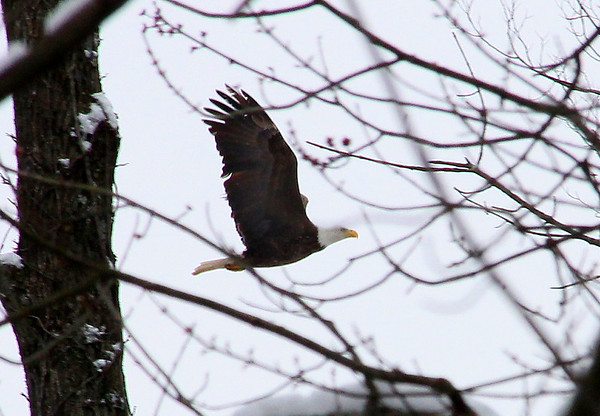 My first sighting of an eagle at Mounds Park was Saturday after the snow.<br /> <br /> Photographer's Name: Jerry Byard<br /> Photographer's City and State: Anderson, Ind.