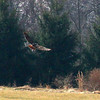A red tail hawk after a strike with feathers flying.<br /> <br /> Photographer's Name: Jerry Byard<br /> Photographer's City and State: Anderson, Ind.